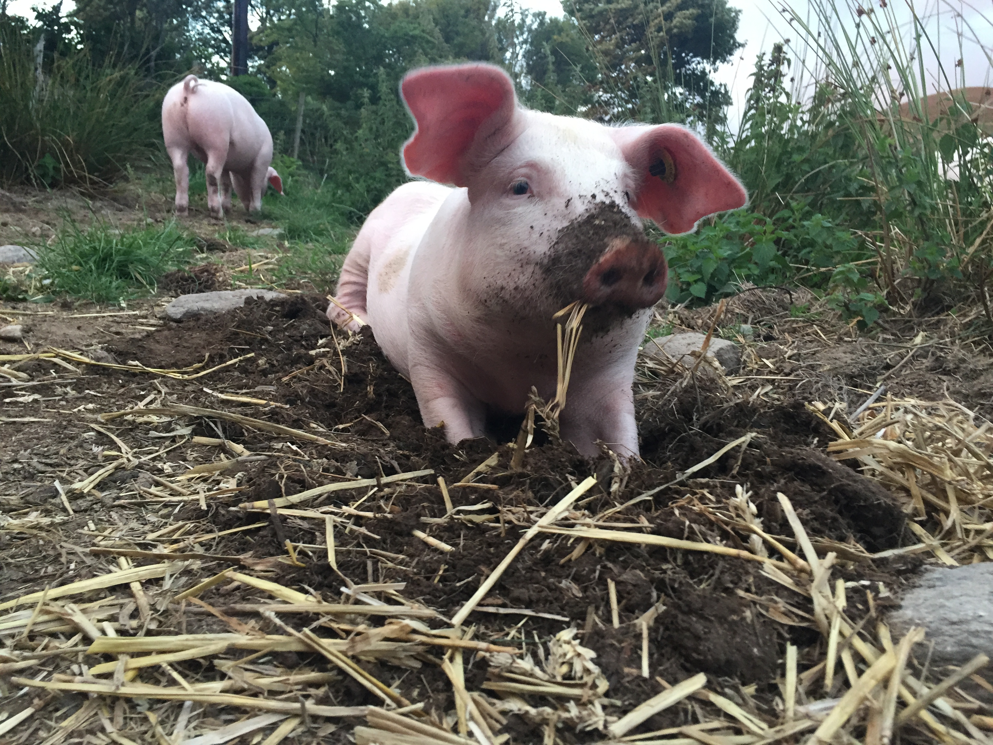 Tudur Williams on farm diversification… trotters and pig tails